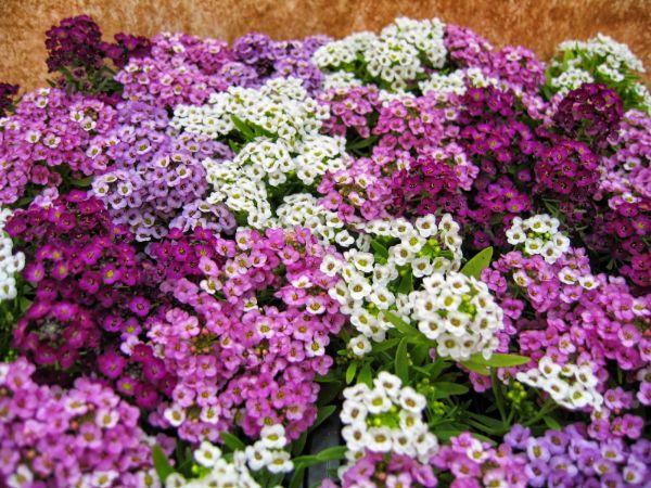 Bal Çiçeği