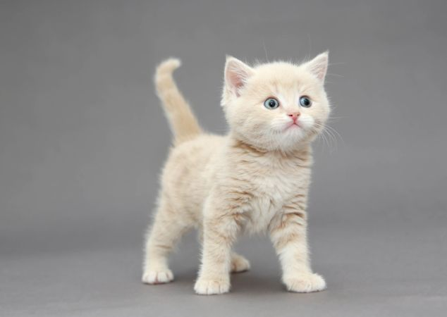 Beyaz Yavru Kedi