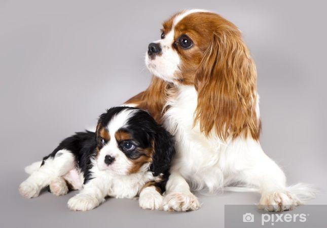 Cavalier King Charles Spaniel Köpeği