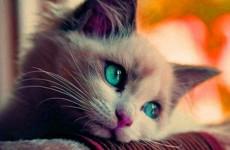 Güzel bakışlı Kedi (1)
