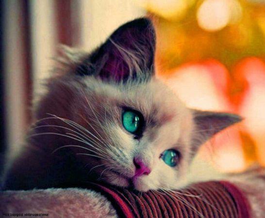 Güzel bakışlı Kedi