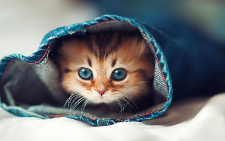 Küçük Yavru Kedi