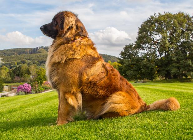 Leonberger Köpek