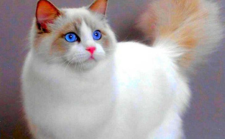 Mavi Gözlü Beyaz Kedi