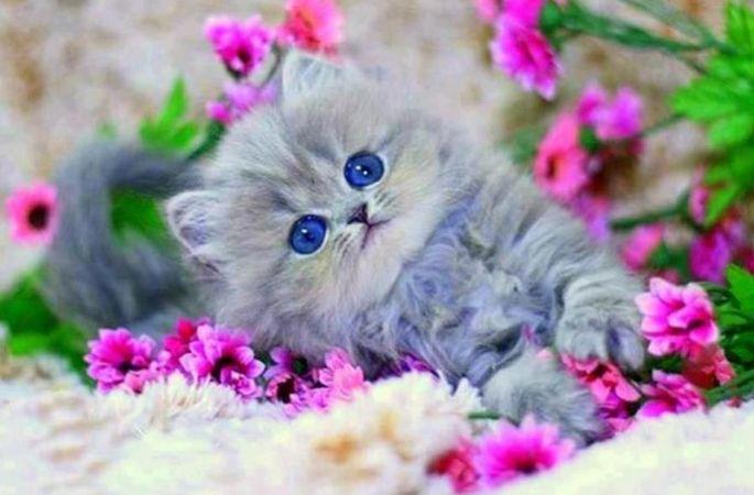 Mavi Kedi
