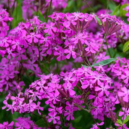 Nakil Çiçeği