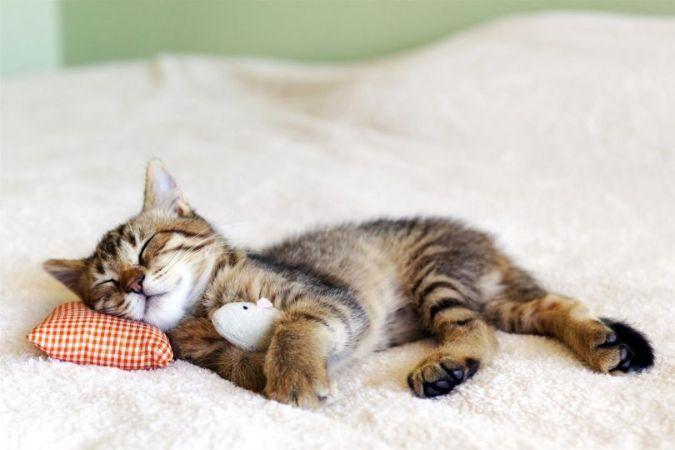 Uyuyan Tekir