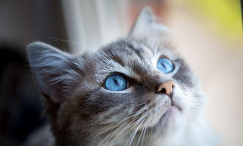 Mavi Gözlü Kedi 2 (1)