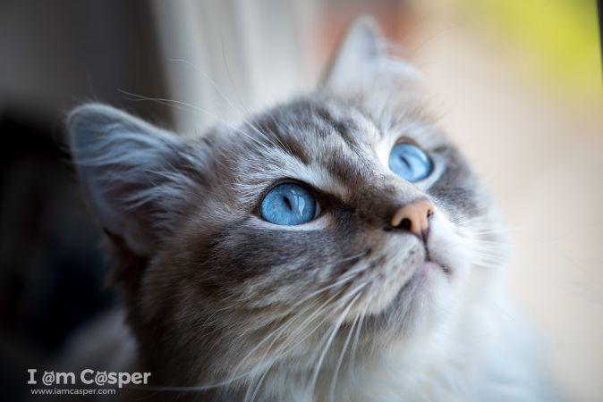 Mavi Gözlü Kedi 2