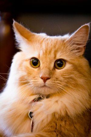 Sarı Renkli Kedi